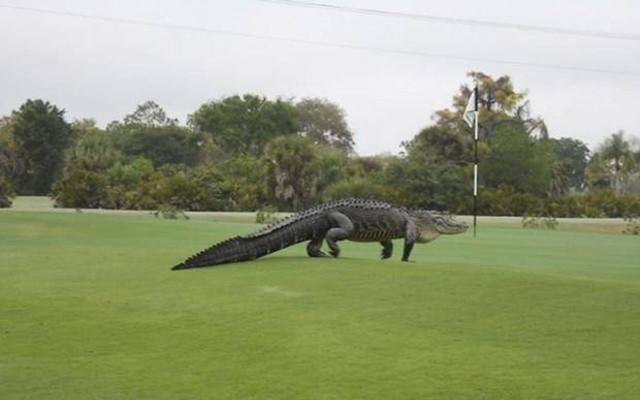 Gigantic 13ft ALLIGATOR snapped on Florida golf course!